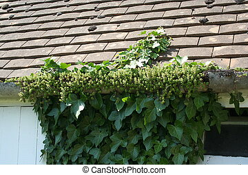 Sedum and Ivy taking over a gutter.