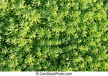 Sedum close-up in garden
