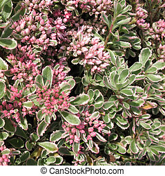 Sedum false, or stonecrop, form tricolor (Sedum spurium)