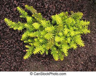 SEDUM, family Crassulaceae