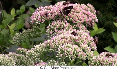 Sedum flowers, butterfly and bees in the garden