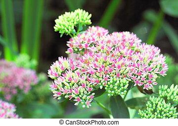 Sedum flowers closeup