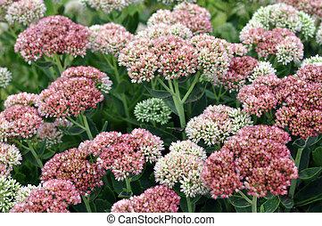 sedum flowers in garden for background use