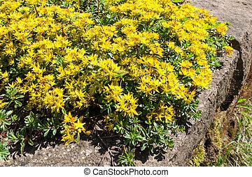 Sedum kamtschaticum, Russian Stonecrop - Early spring yellow...