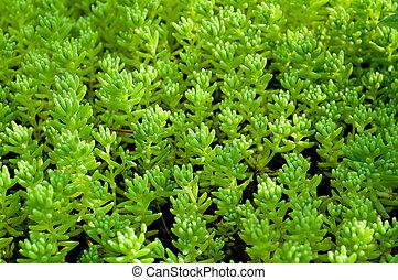 Sedum, moss shoots close-up - Sedum, moss shoots close-up