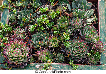 Sedum or sempervivum plants for dry planting