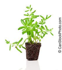 Sedum plant isolated