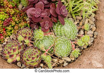 Sedum plants used for green roof applications - Sedum and...