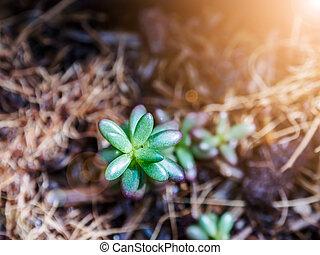 Sedum rubrotinctum. - Succulent plant. Sedum rubrotinctum.