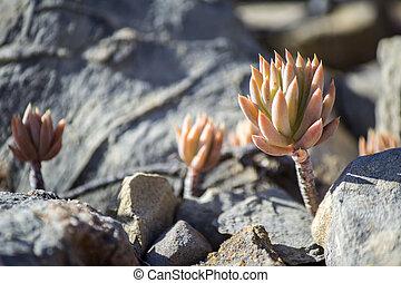 Sedum sediforme, a genus of flowering plants in the family Crassulaceae, cultivated as low maintenance garden plant.