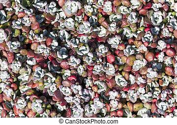 Sedum spathulifolium 'Purpureum'