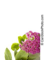 Sedum Spectabile - beautiful autumn pink flower sedum on...