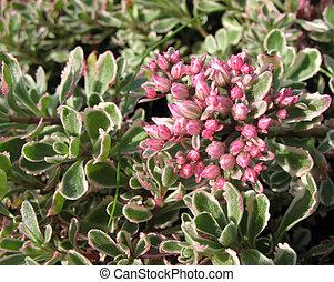 Sedum spurium - Sedum false, or stonecrop, form tricolor...