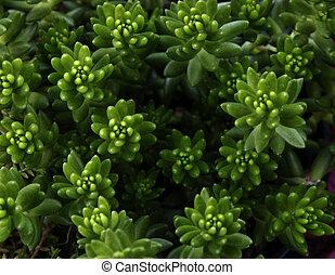 Sedum - Green sedum is an easy to grow succulent which idoes...