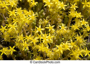 Sedum - Growing carpet on abandoned fields and meadows....