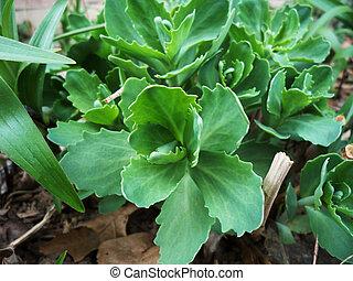 Sedum - Red Sedum ground cover just budding out
