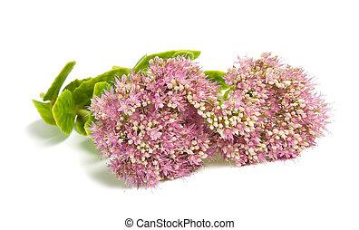 Sedum - Pink Sedum flowers isolated on white background