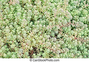Sedum stonecrop Spanish close up in a summer