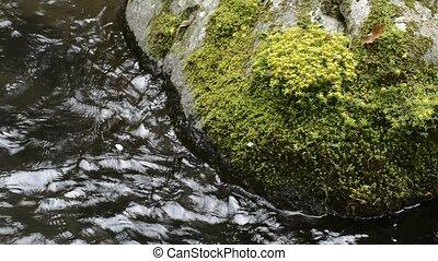 Sedum subtile flowers on a rock and brook flowing