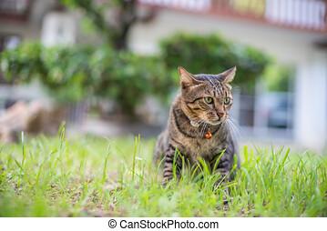 seduta, gatto tabby, casa, erba, colletto