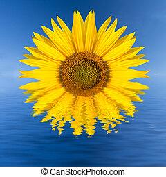 See, Sonnenblume