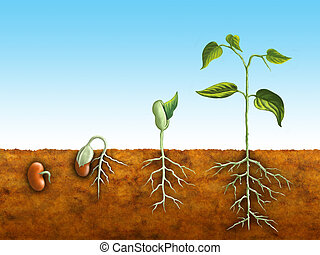 The germination process of a bean plant. Digital illustration.