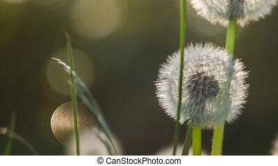 Seed head of dandelion in nature slightly moved by the wind,...