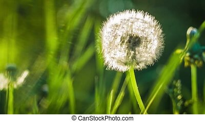 Seed head of dandelion, sunlight flares comming from the left site, close up