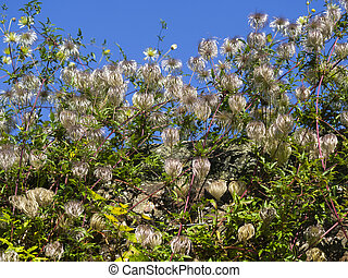 Seed heads on a garden Clematis plant