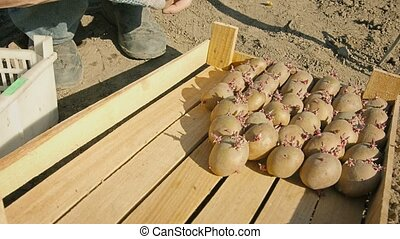 Seed of potatoes carefully placed in a box - UHD video -...