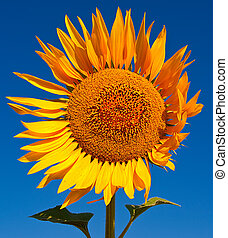 Seed of sunflower