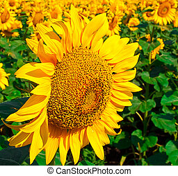 Seed of sunflower against the field