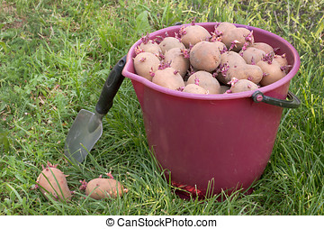 Seed potatoes in a red bucket