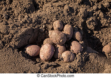 Seed potatoes in soil outdoors - A pile of seed potatoes in...