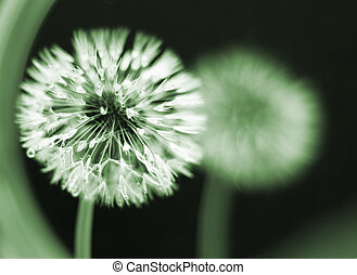 seedhead, molhados, dandelion