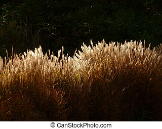 seedheads, herbe, ensoleillé
