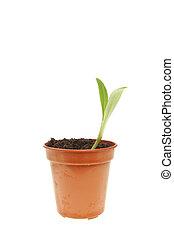 Seedling in a pot