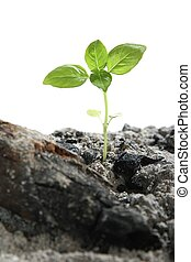 Seedling in Ashes - A new seedling growing out of ashes