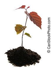seedling in soil - small seedling of nutwood in soil...