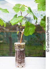 Seedling of a grapevine close-up