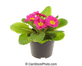 Seedling of pink primrose, isolated on white