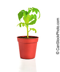 seedling of plant of young tomato in flowerpot is isolated on white background