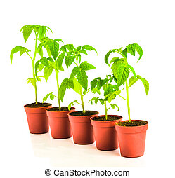 seedling of tomato plant in flowerpot is isolated on white background