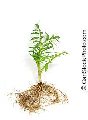 Seedling of valerian (Valeriana officinalis) isolated in...
