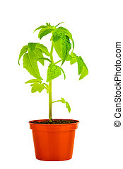seedling of young tomato plant in flowerpot is isolated on white background