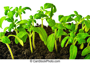 seedling of young tomato plant in land is isolated