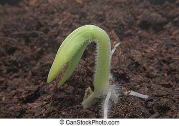 Seedling - A delicate seedling emerging from the soil.