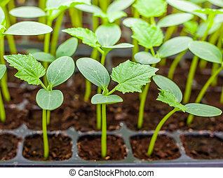 seedling, verde, cima, pepino, fim, bandeja