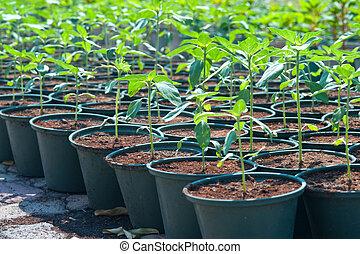 Seedlings Amaranth in pot.