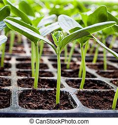 seedlings, blad, jonge, komkommers